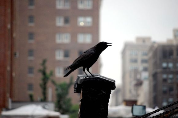 New York City Crow